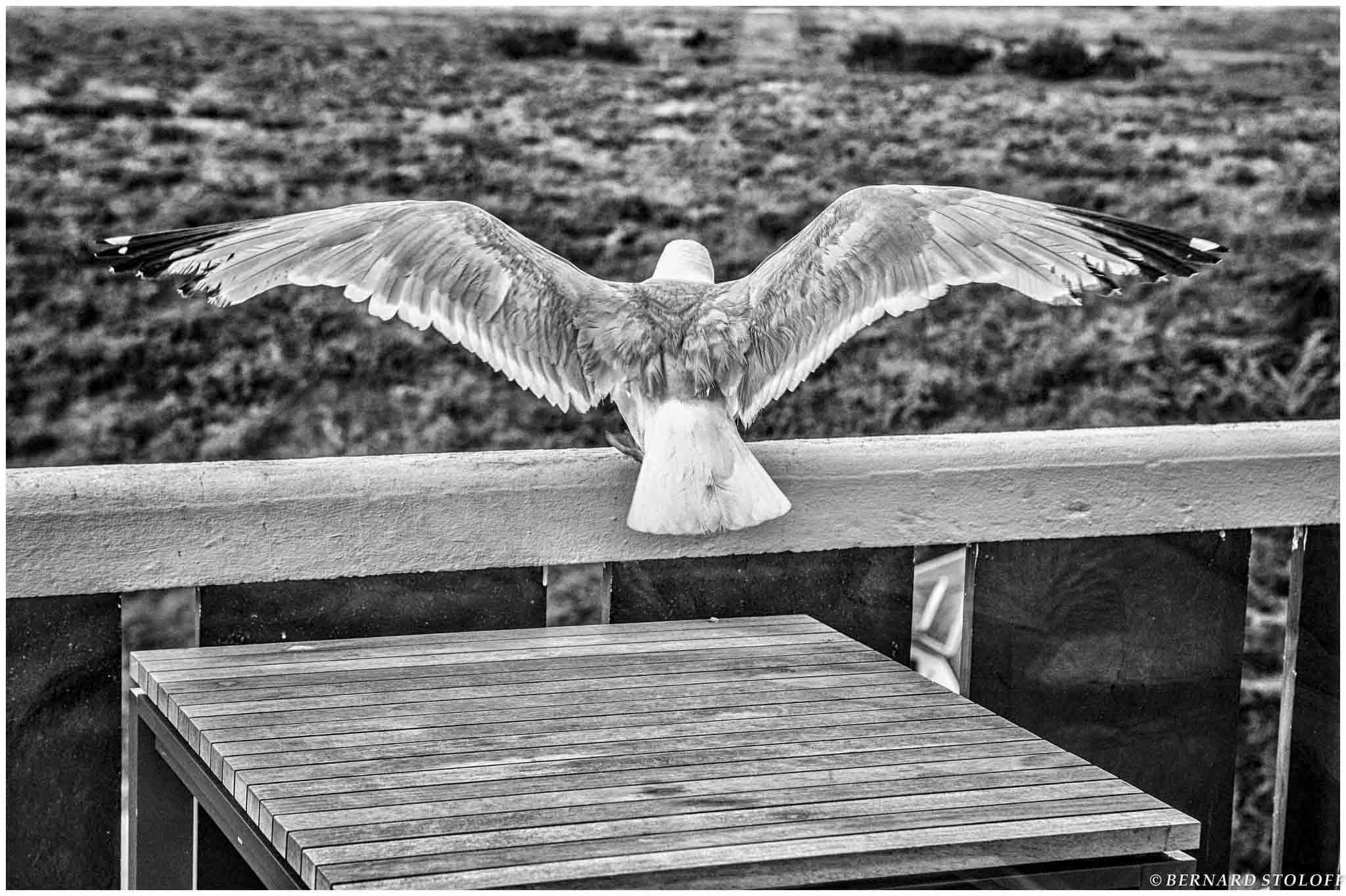 PHOTOGRAPHIER GOELAND, BELLE ÎLE EN MER, BRETAGNE