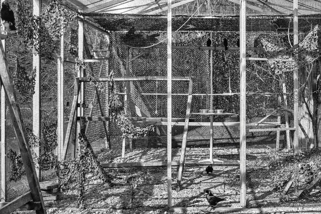 la volière où travaillent les corbeaux dans le cadre de la recherche en éthologie évolutive